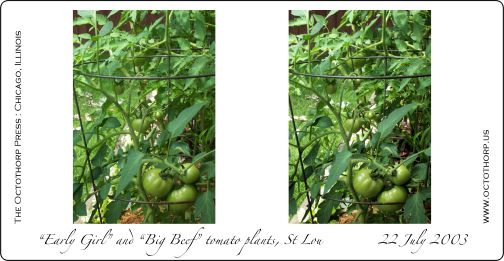 Tomatoes Stereograph